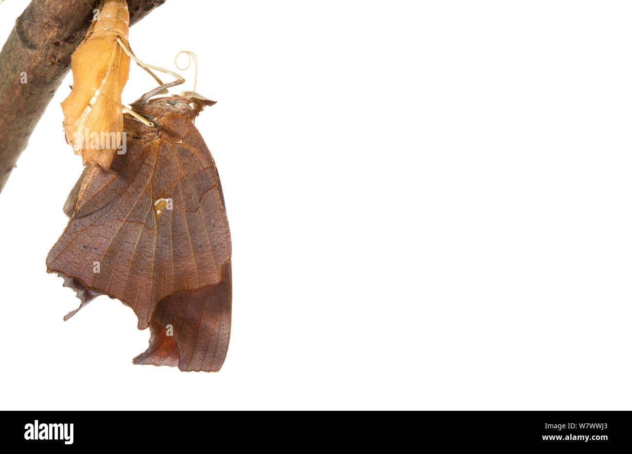 Signo de interrogación (mariposa Polygonia interrogationis) emergentes, cuenca Anacostia, Washington DC, EE.UU. Septiembre. Secuencia 8 de 11. Proyecto Meetyourneighbors.net. Foto de stock