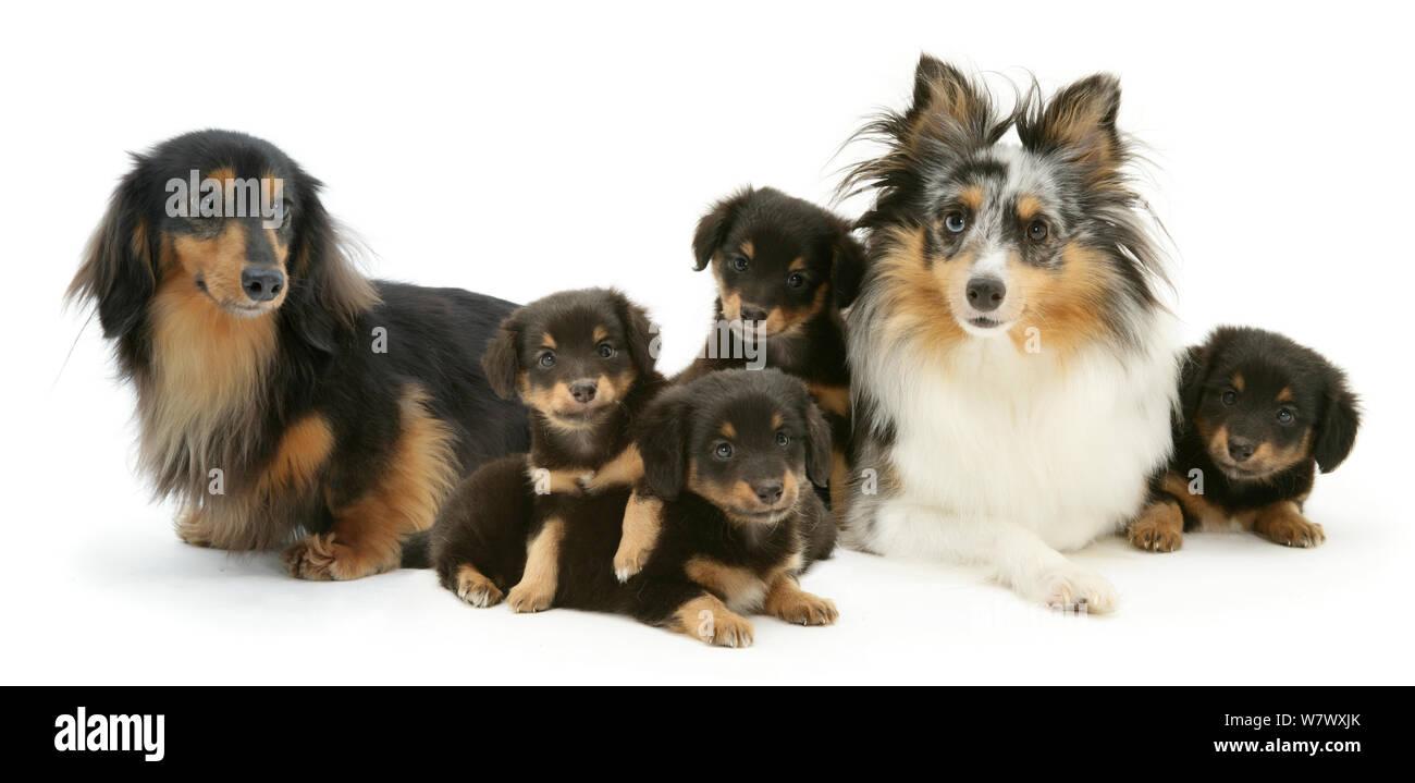 Pastor de Shetland y Teckel perros con sus cachorros. Foto de stock