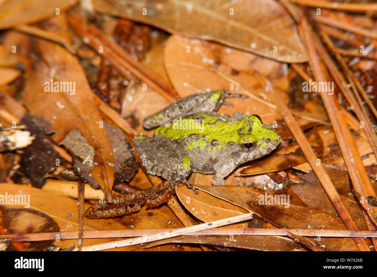 Blanchard's cricket sapo (Acris crepitans blanchardi) Martin muere Jr State Park, Condado de Jasper, Texas, EE.UU. Foto de stock