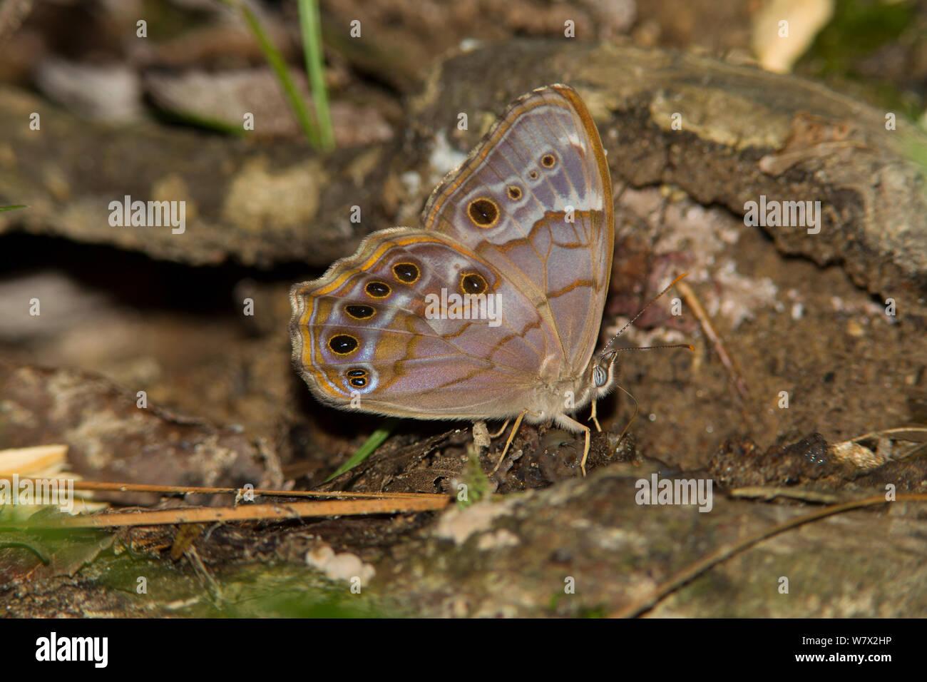 Perla del Sur (Ojo Enodia portlandia) Martin muere Jr State Park, Condado de Jasper, Texas, EE.UU. Foto de stock