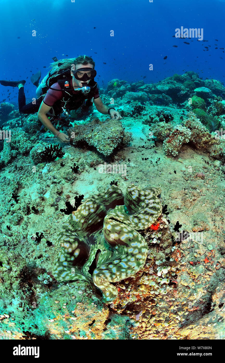 Diver mirando acanalados almeja gigante (Tridacna squamosa) Maldivas. Océano Índico. De abril de 2011. Foto de stock
