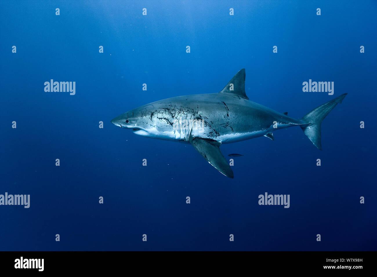 Hembra gran tiburón blanco (Carcharodon carcharias) con heridas infligidas por los machos durante el apareamiento, Isla Guadalupe, México. Océano Pacífico. Foto de stock