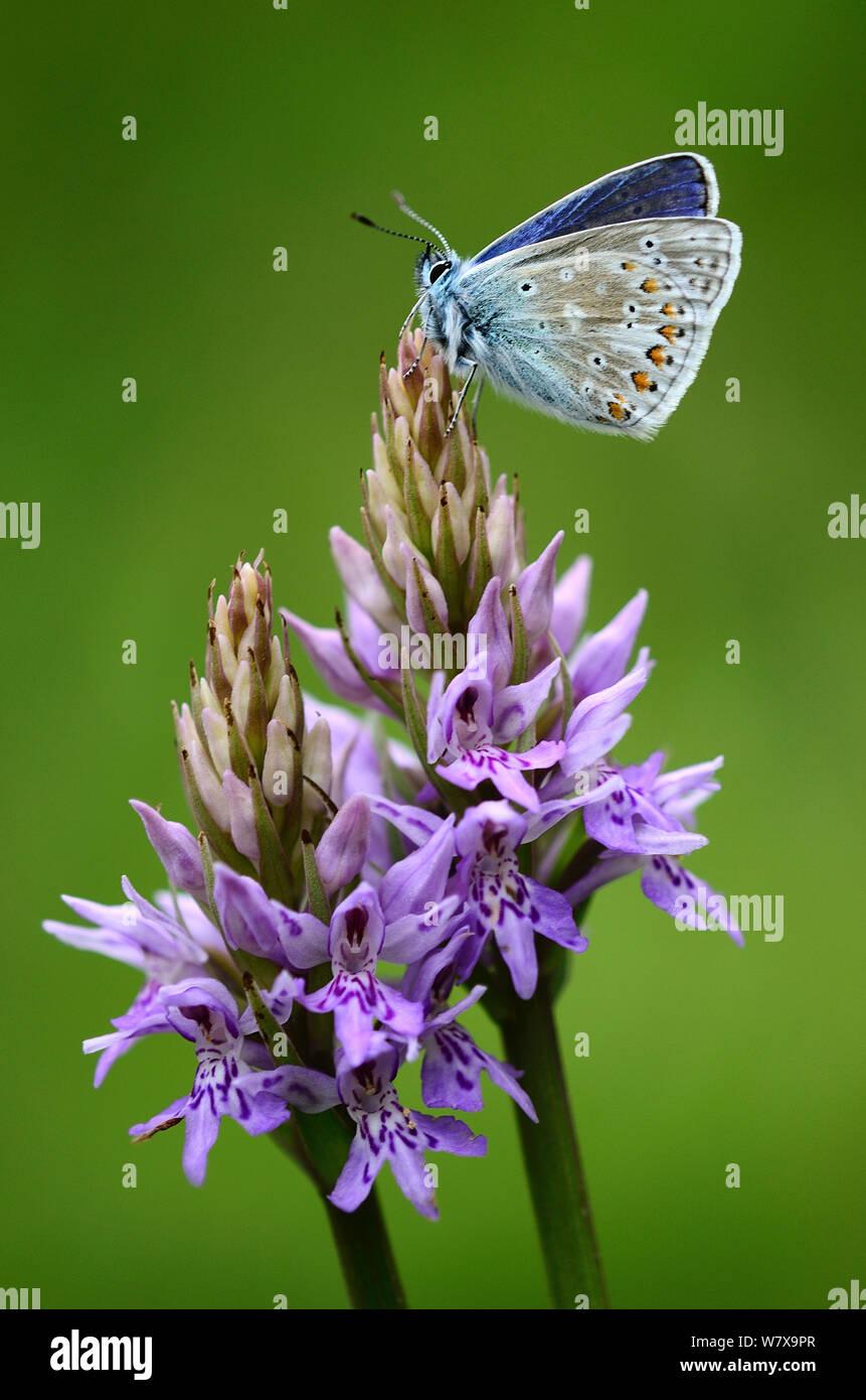 Mariposa Azul común (Polyommatus icarus) descansando en común orquídea manchada. Powerstock Common, Dorset, Reino Unido, Mayo. Foto de stock