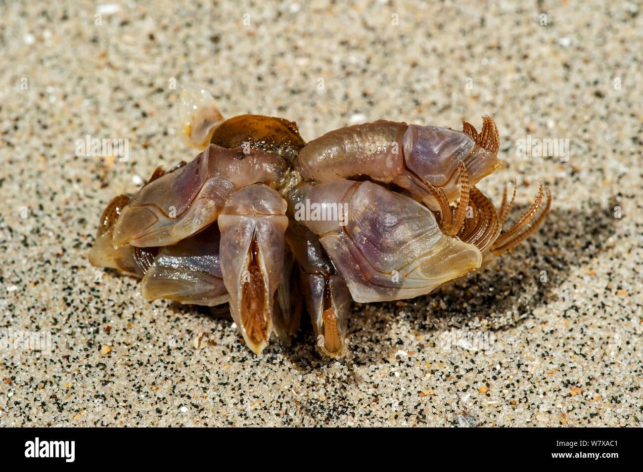 Percebe azul / boya percebe (Dosima fascicularis) lavados en la playa, la bahía de Somme, Francia, Mayo. Foto de stock