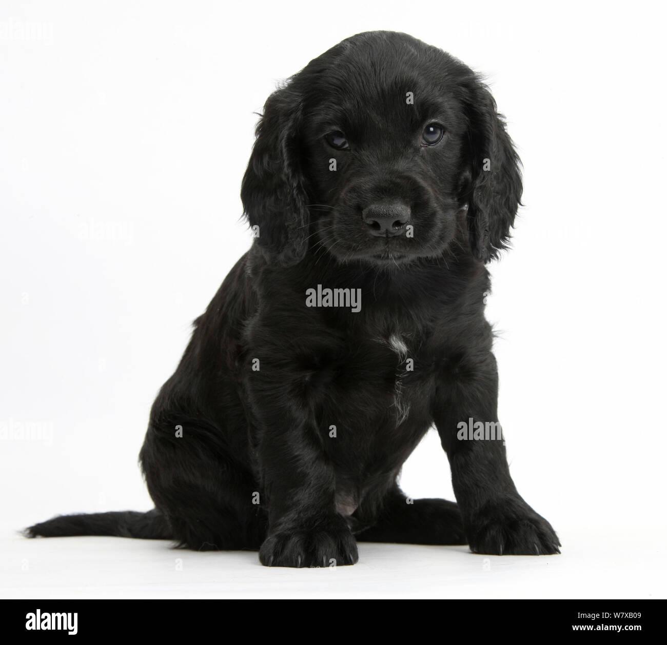 Cocker Spaniel Puppy Black White Fotos E Imagenes De Stock Alamy
