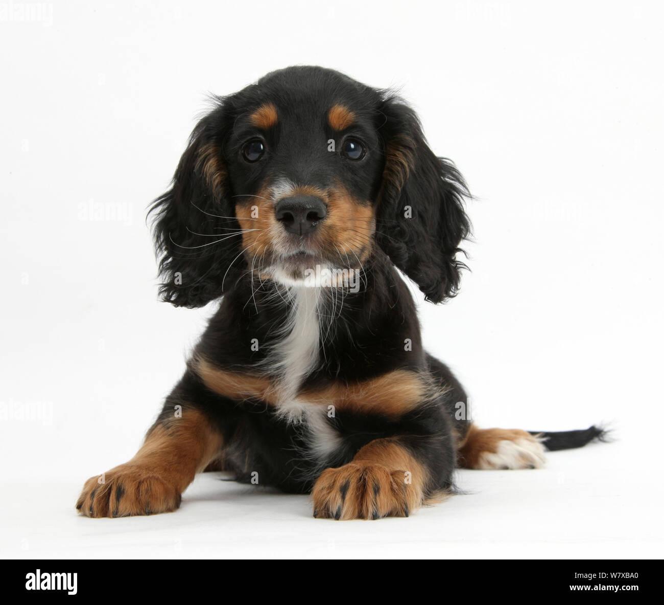 Working Cocker Spaniel Puppy Fotos E Imagenes De Stock Alamy