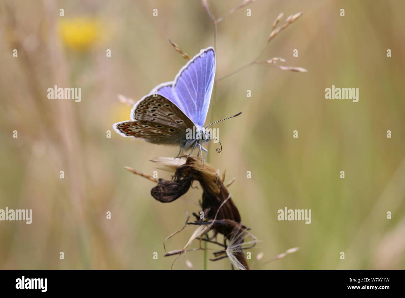 Mariposa Azul común (Polyommatus icarus) desenrollar la lengua, Surrey, Inglaterra, en julio. Foto de stock