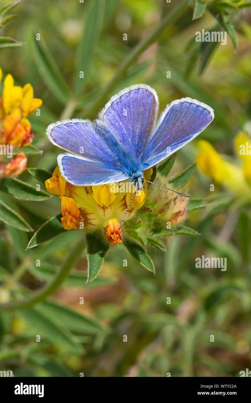 Macho azul común (mariposa Polyommatus icarus) alimentándose de riñón vicia Hutchinson's Bank, New Addington, al sur de Londres, Inglaterra, Reino Unido, Mayo Foto de stock