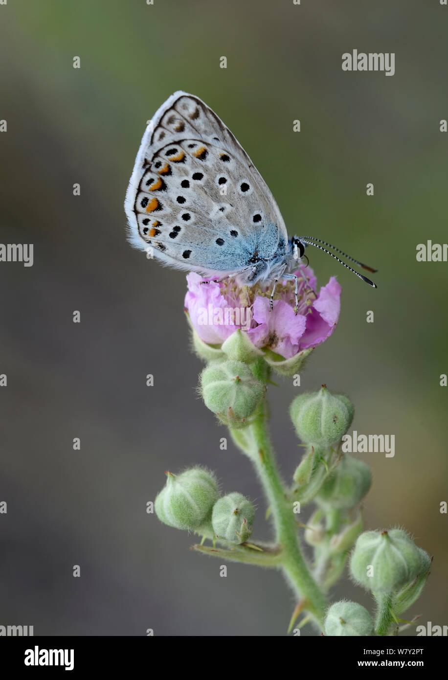 Mariposa Azul común (Polyommatus icarus) Fort de Rimplas, Parque Nacional de Mercantour, Provenza, Francia, en junio. Foto de stock