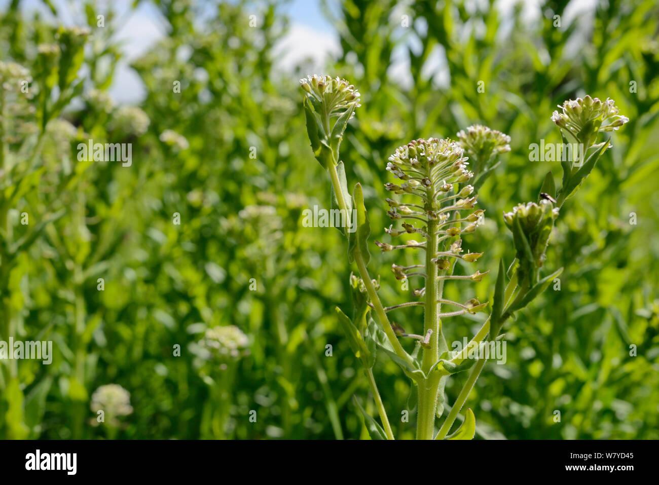Berro (Lepidium draba canosos / Cardaria draba), una especie de largo naturialised del sur de Europa, en el Reino Unido, la floración en tierra de residuos urbanos, Salisbury, REINO UNIDO, Abril. Foto de stock