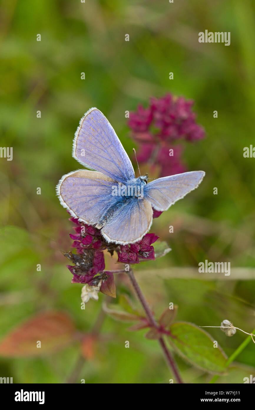 Mariposa Azul común (Polyommatus icarus) macho, alimentándose de mejorana salvaje, Reino Unido, septiembre. Foto de stock
