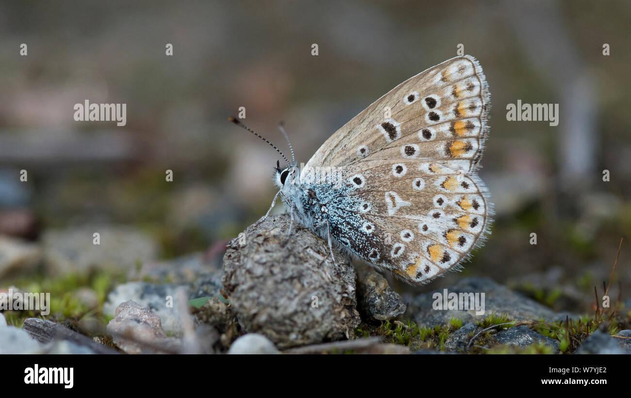 Mariposa Azul común (Polyommatus icarus) sobre el suelo, Jyvaskyla, Keski-Finland / Finlandia Central, Finlandia, en septiembre. Foto de stock