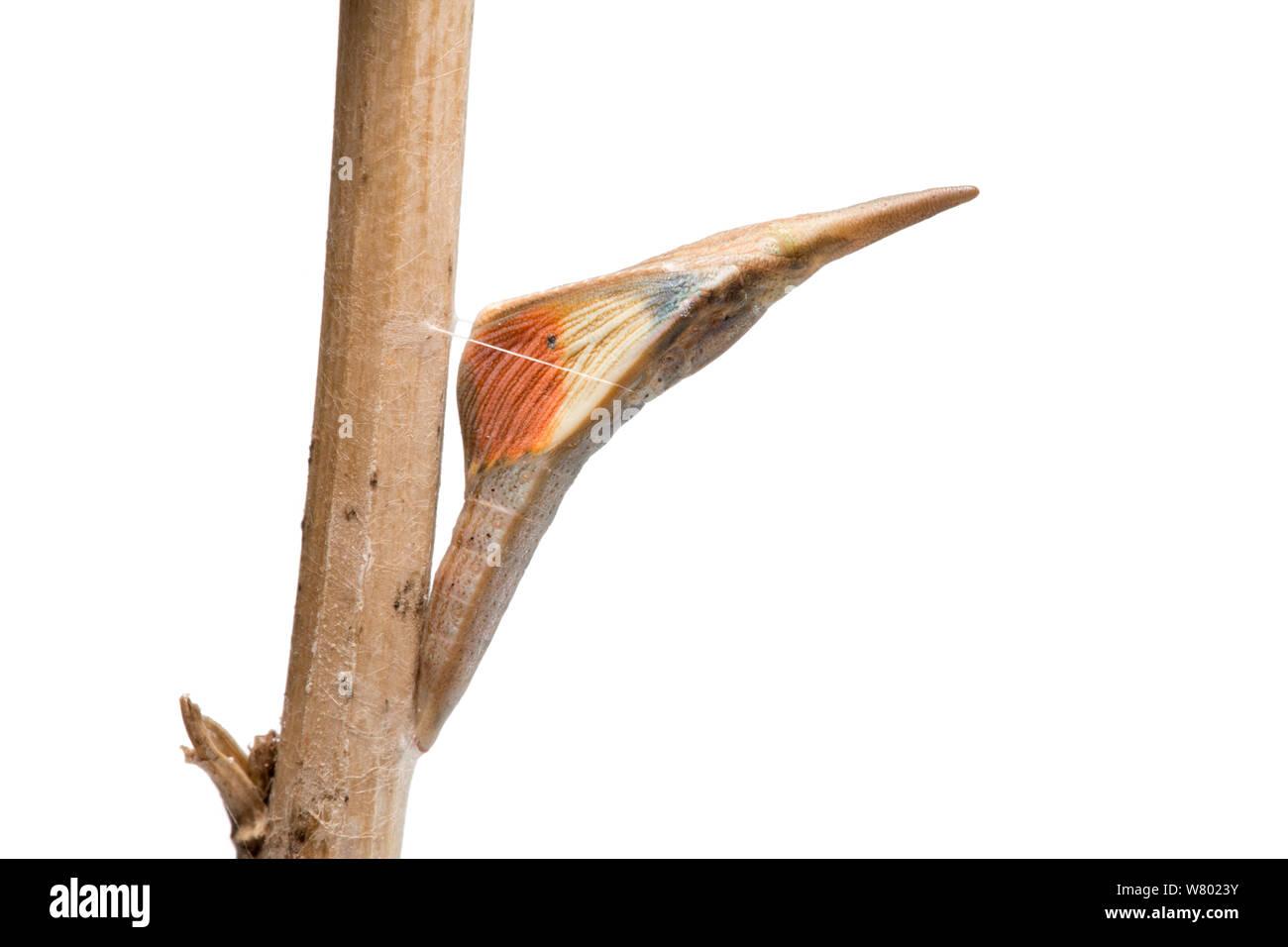 Crisálida de punta anaranjada Anthocharis cardamines (mariposas) en ajo mostaza (Alliaria petiolata). Los estabilos naranja claramente visible a través de la crisálida muestran que este es un hombre a punto de emerger. Peak District National Park, Derbyshire, Reino Unido. De mayo. Fotografiado contra un fondo blanco en el campo móvil studio. Foto de stock