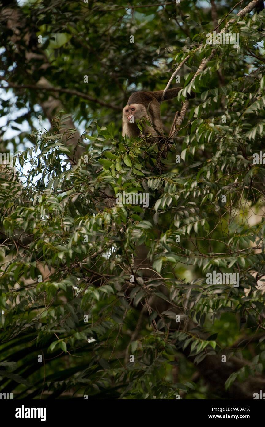 Cuña-capped / Llanto capuchino (Cebus olivaceus) en el árbol de la selva, fuera la lengua. Reserva de Iwokrama, Guyana. Foto de stock