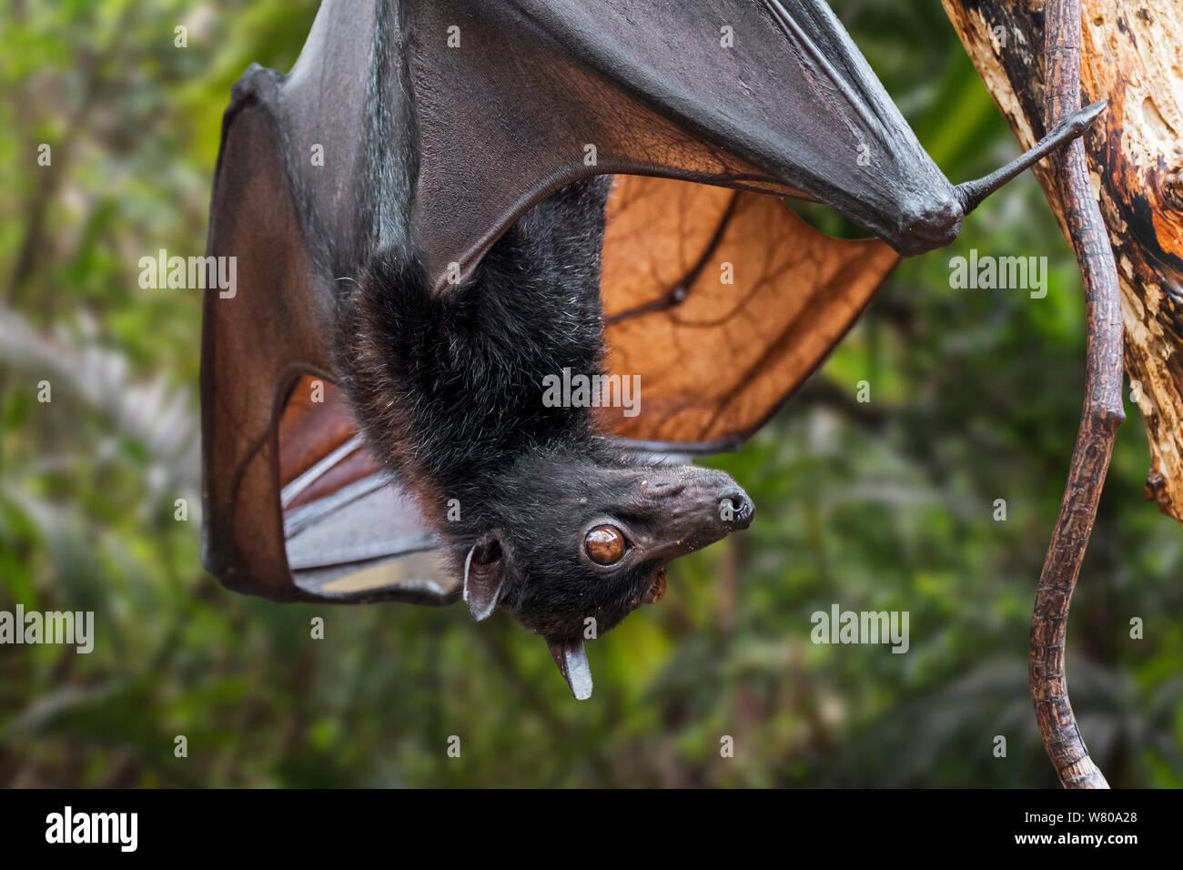 Lyle's flying fox (Pteropus lylei) nativo de Camboya, Tailandia y Vietnam colgado boca abajo y mostrando las venas del ala Foto de stock
