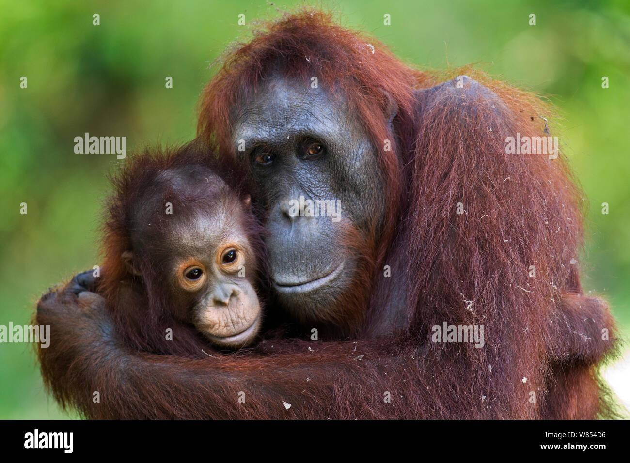 Bornean orangután (Pongo pygmaeus) hembra 'Unyuk wurmbii' abrazando a su hija 'Ursula', de 4 años de edad. Camp Leakey, el parque nacional Tanjung Puting, Kalimantan Central, Borneo, Indonesia. En junio de 2010. Rehabilitado y liberado (o descendientes de) entre 1971 y 1995. Foto de stock