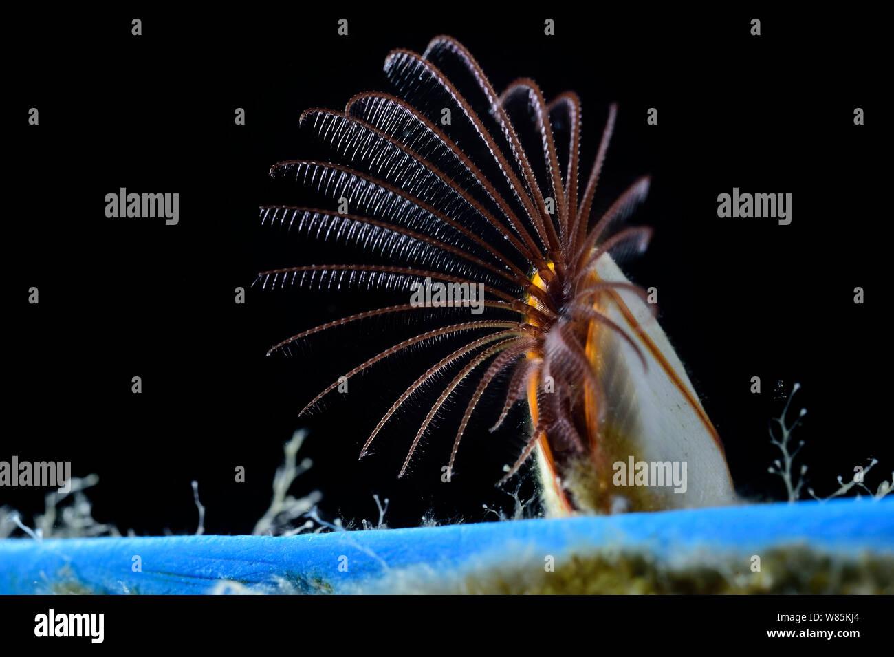 Percebe común (Lepas anatifera) sobre un trozo de plástico. Mar de los Sargazos, Bermudas Foto de stock