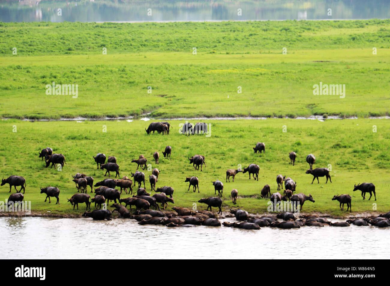 Un enjambre de búfalos llegar a una isla en el río los ríos Jialing para navegar después de nadar a través del río en la aldea, ciudad Xiangru Youfanggou, Peng'an contar Foto de stock