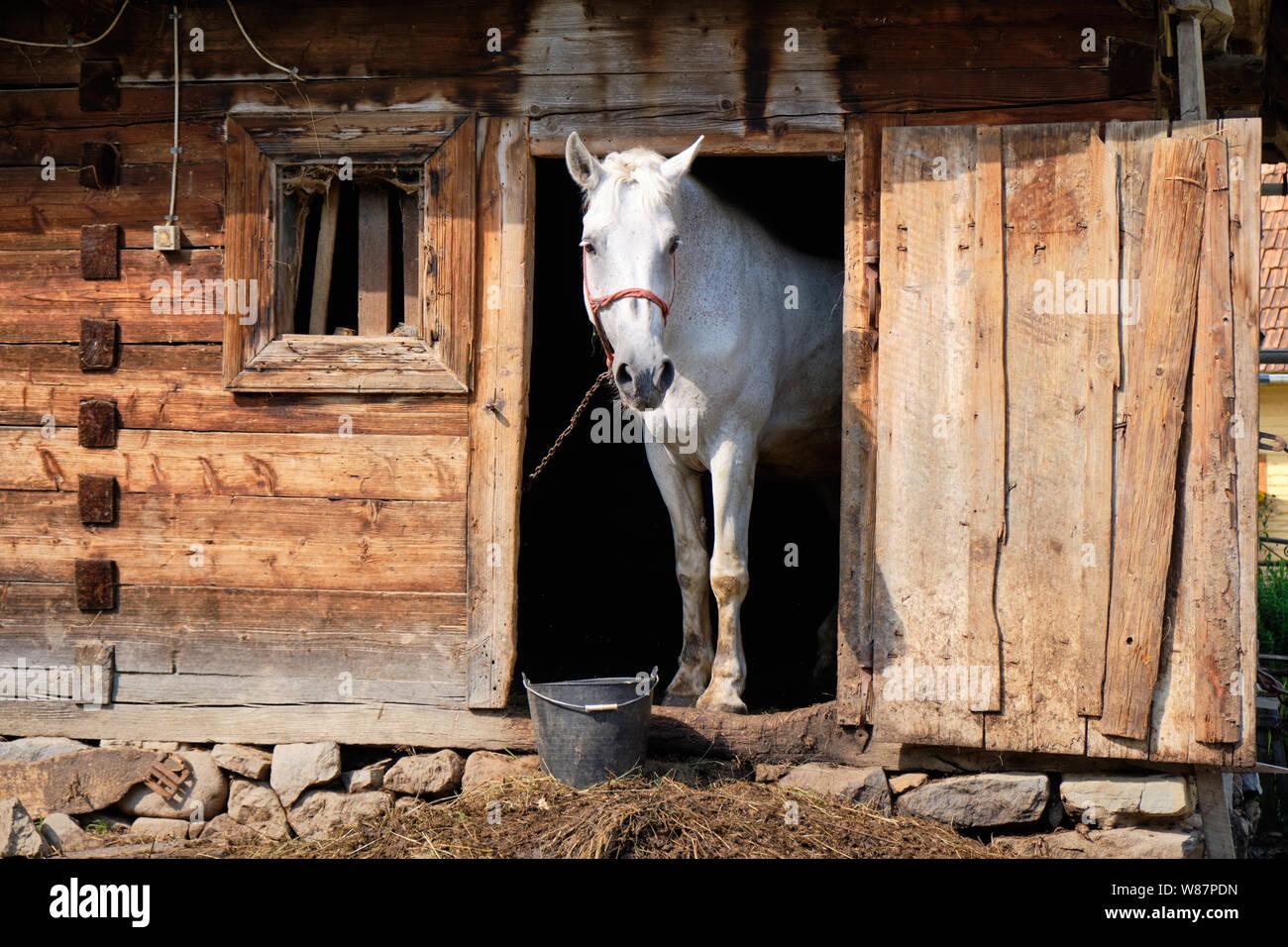 White Horse Farm Anverso Enmarcados En Rustica Antigua Puerta Estable Pegado A La Cabeza Y Mirando Fotografia De Stock Alamy