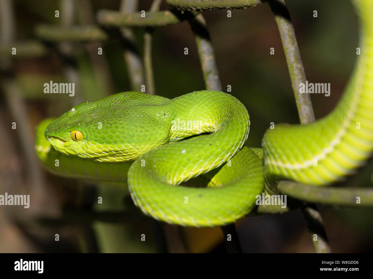 Cerrar Foto de un White-Lipped pit viper (Trimeresurus albolabris) enrollados en Tailandia Foto de stock
