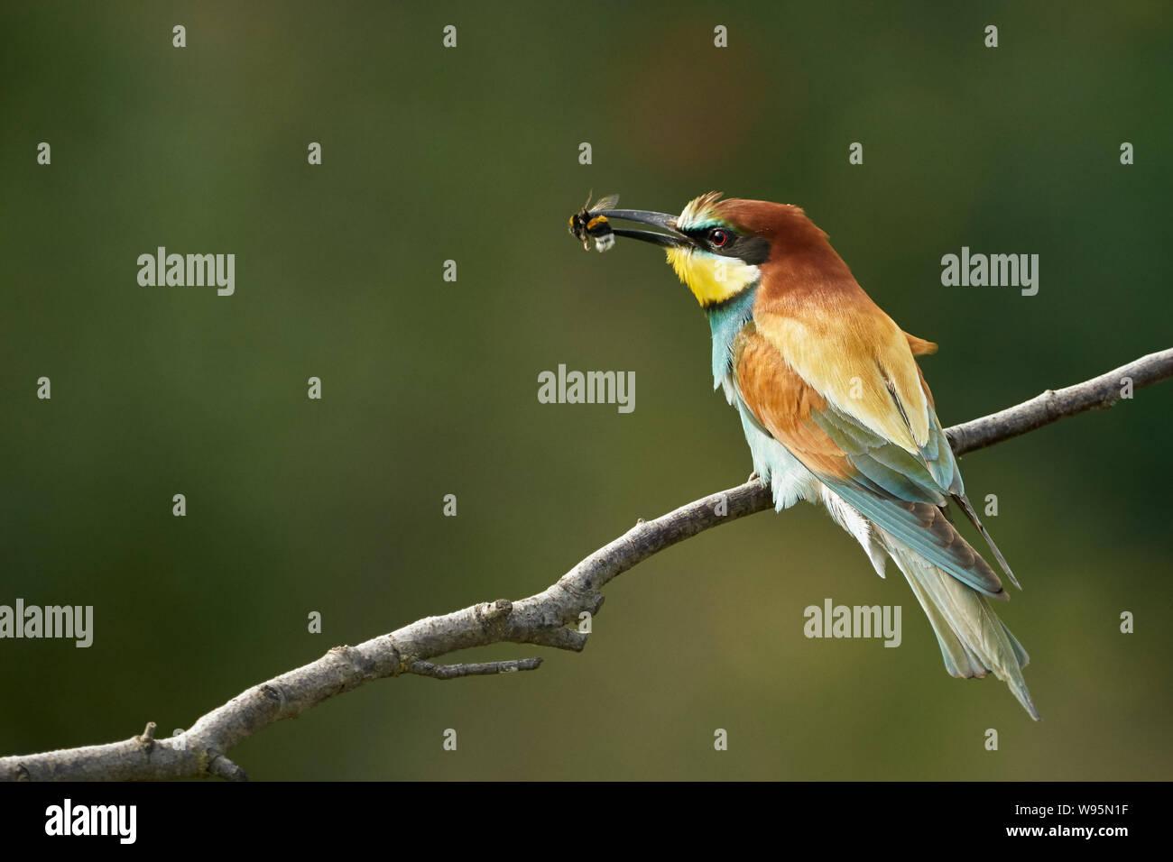 El abejorro europeo (Merops apiaster) capturó un abejorro Foto de stock