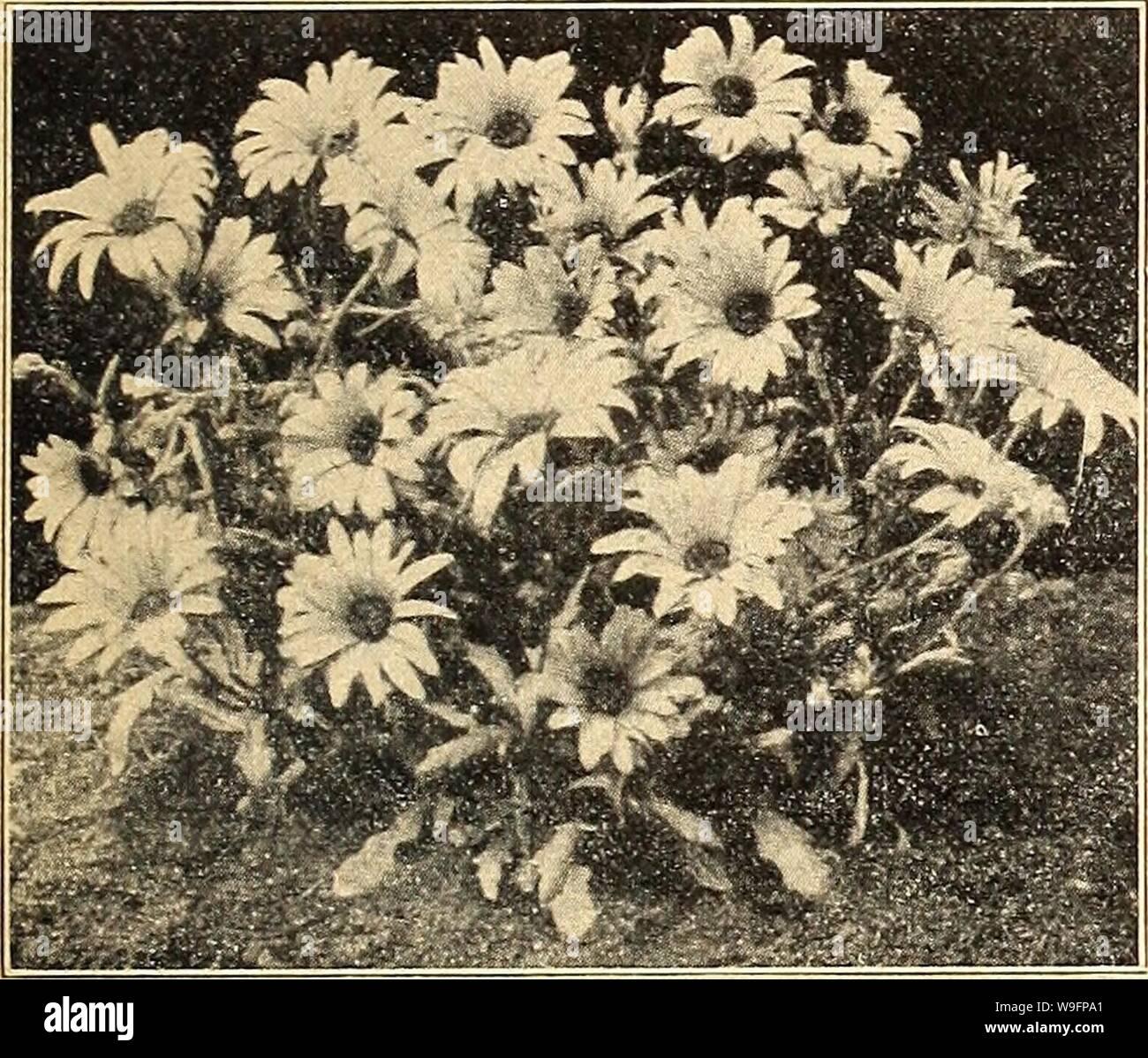 White Cape Daisy Osteospermum ecklonis semillas de margarita africana