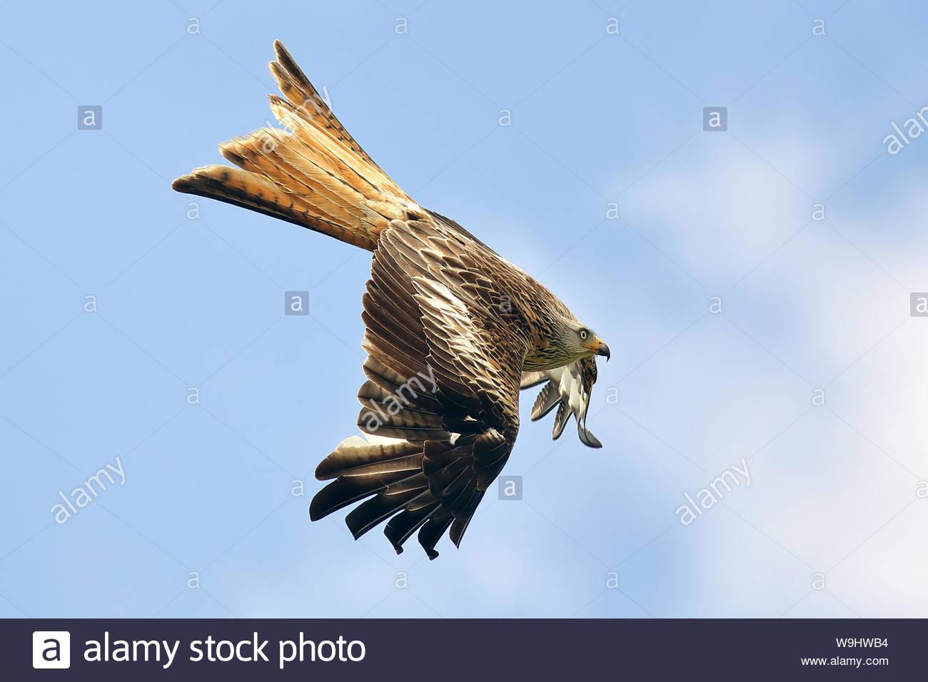 Red Kite en vuelo Foto de stock