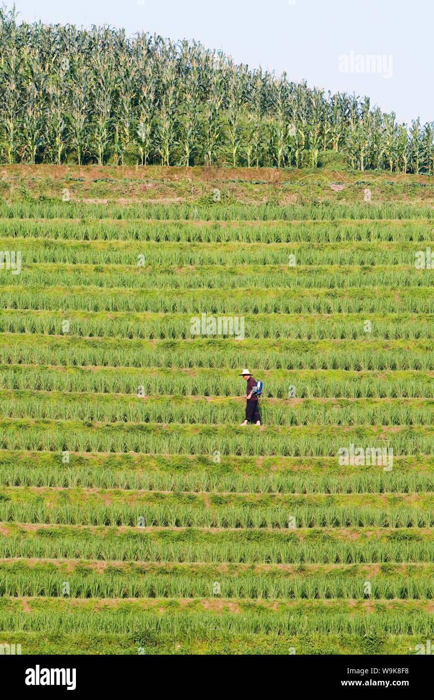 Agricultor Pulverizar Los Cultivos De Arroz Para La Cosecha