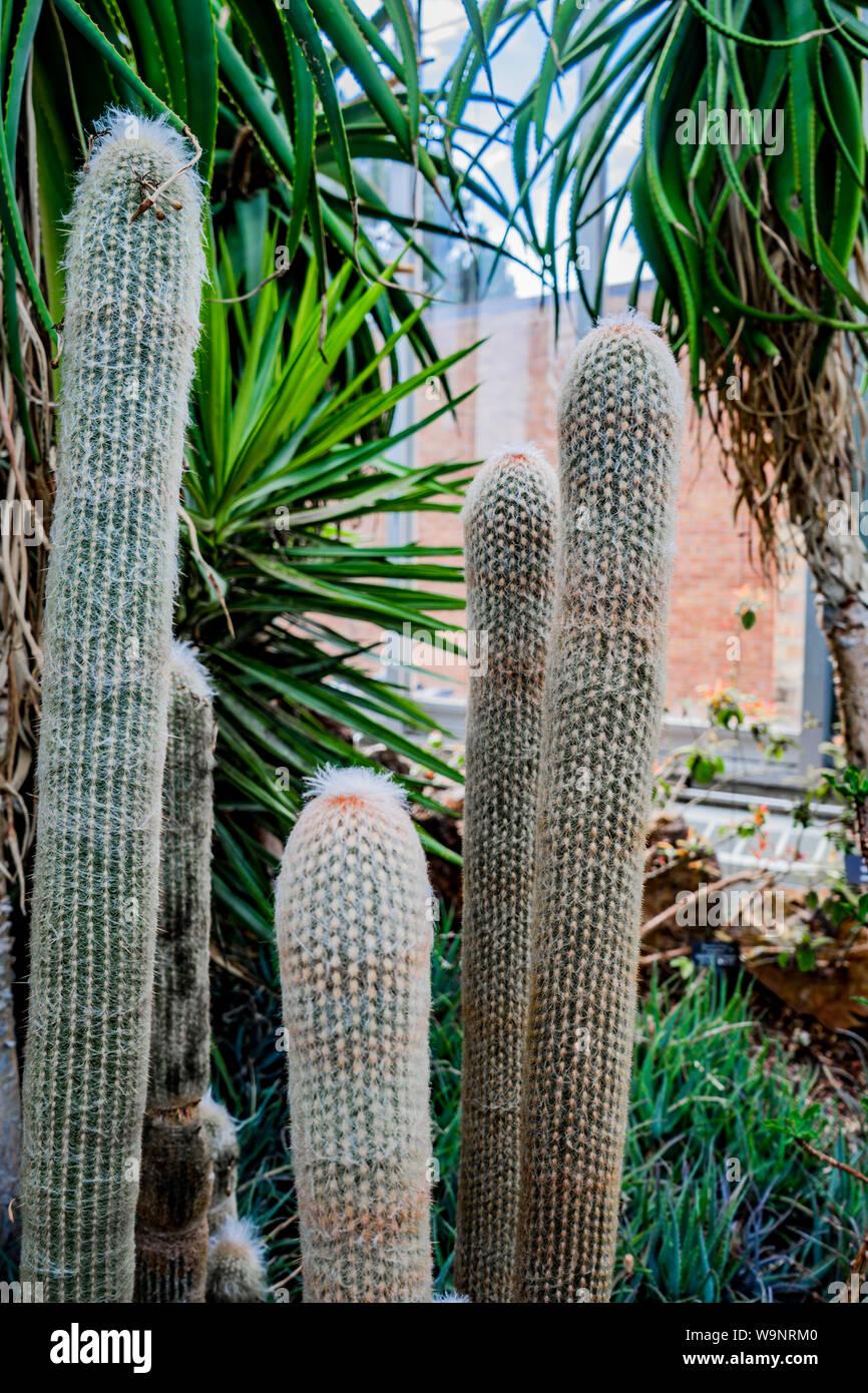 Viejo hombre peruano cactaceae . (Espostoa lanata) crecen en el pabellón del jardín botánico de Chicago Foto de stock