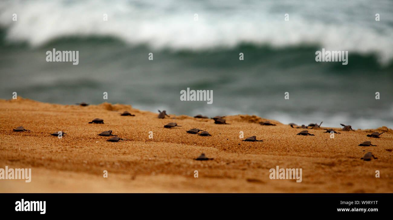 Ciento veinte bebé tortugas liberadas en Pulau Tioman en Malasia. Se estima que sólo el 2 va a sobrevivir. Foto de stock
