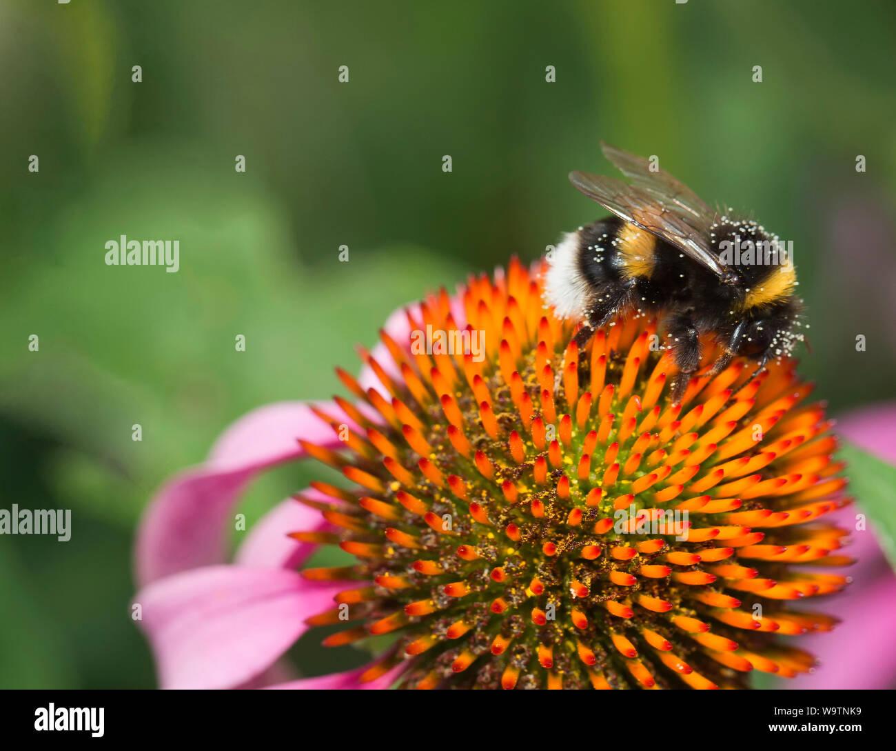 Sentarse en un abejorro coneflower Foto de stock