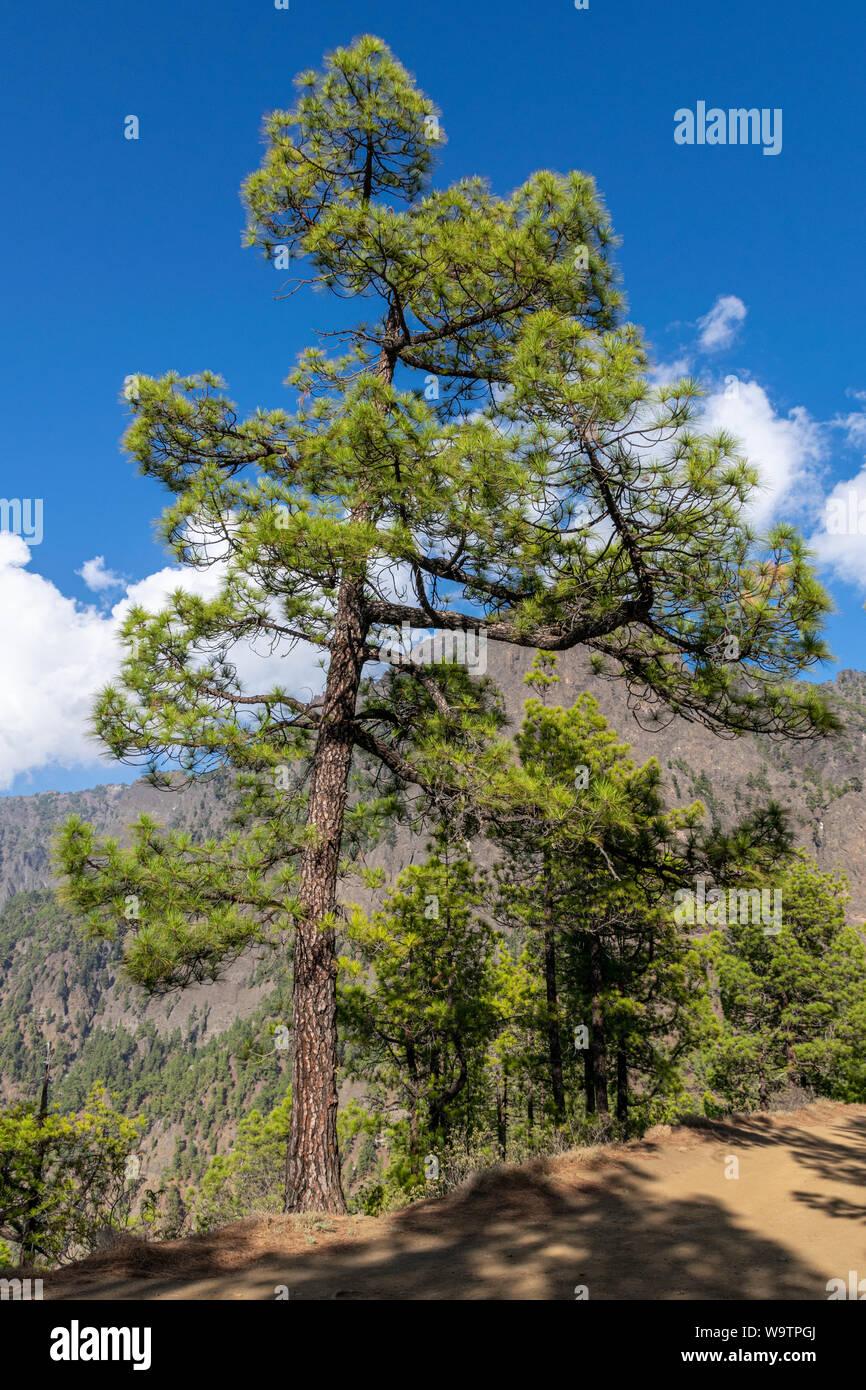 Corteza de árbol quemado y nuevo rebrote verde tras un incendio forestal el pino canario (Pinus canariensis) en La Palma, Islas Canarias, España Foto de stock