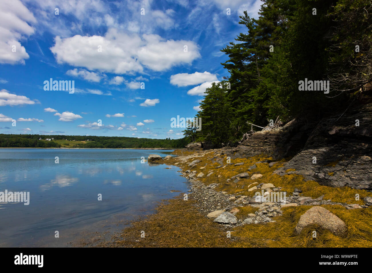 Y los bosques de algas en la marea baja en Blue Hill BAY - Maine Foto de stock