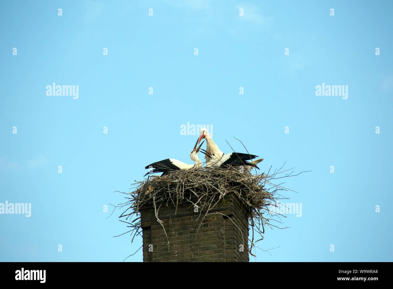 Weißstorch, Klapperstorch (Ciconia ciconia) - Jungvogel nido im auf einem Kamin, Sluis, de Zeeland Niederlande Foto de stock