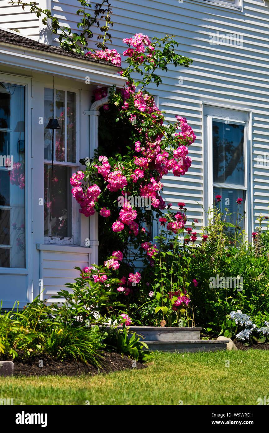 Rosas flor en una casa estilo Nueva Inglaterra en STONINGTON un importante puerto de pesca de langosta y destino turístico - Deer Island, Maine Foto de stock