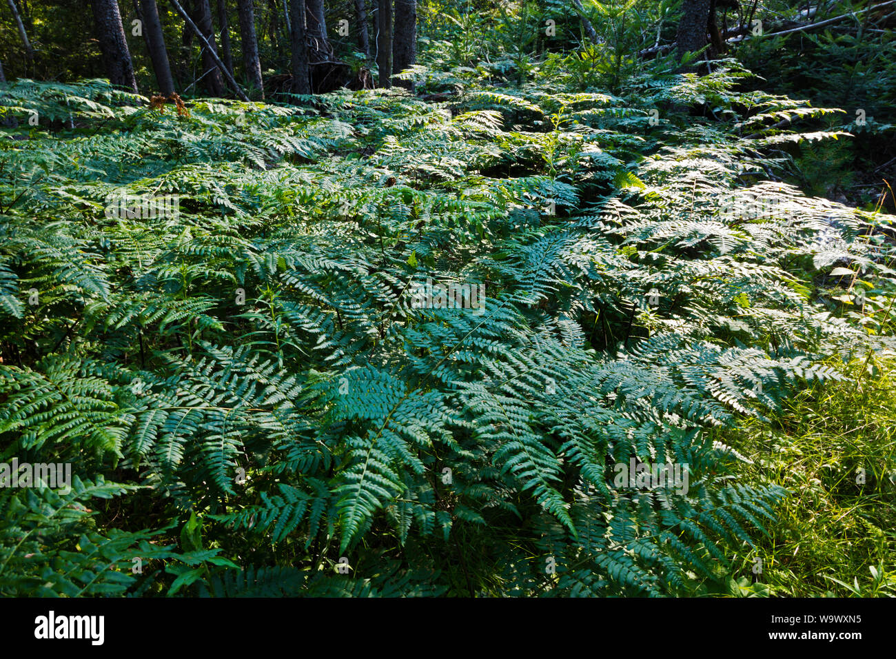 Helechos silvestres son el sotobosque de un bosque - Blue Hill, Maine Foto de stock