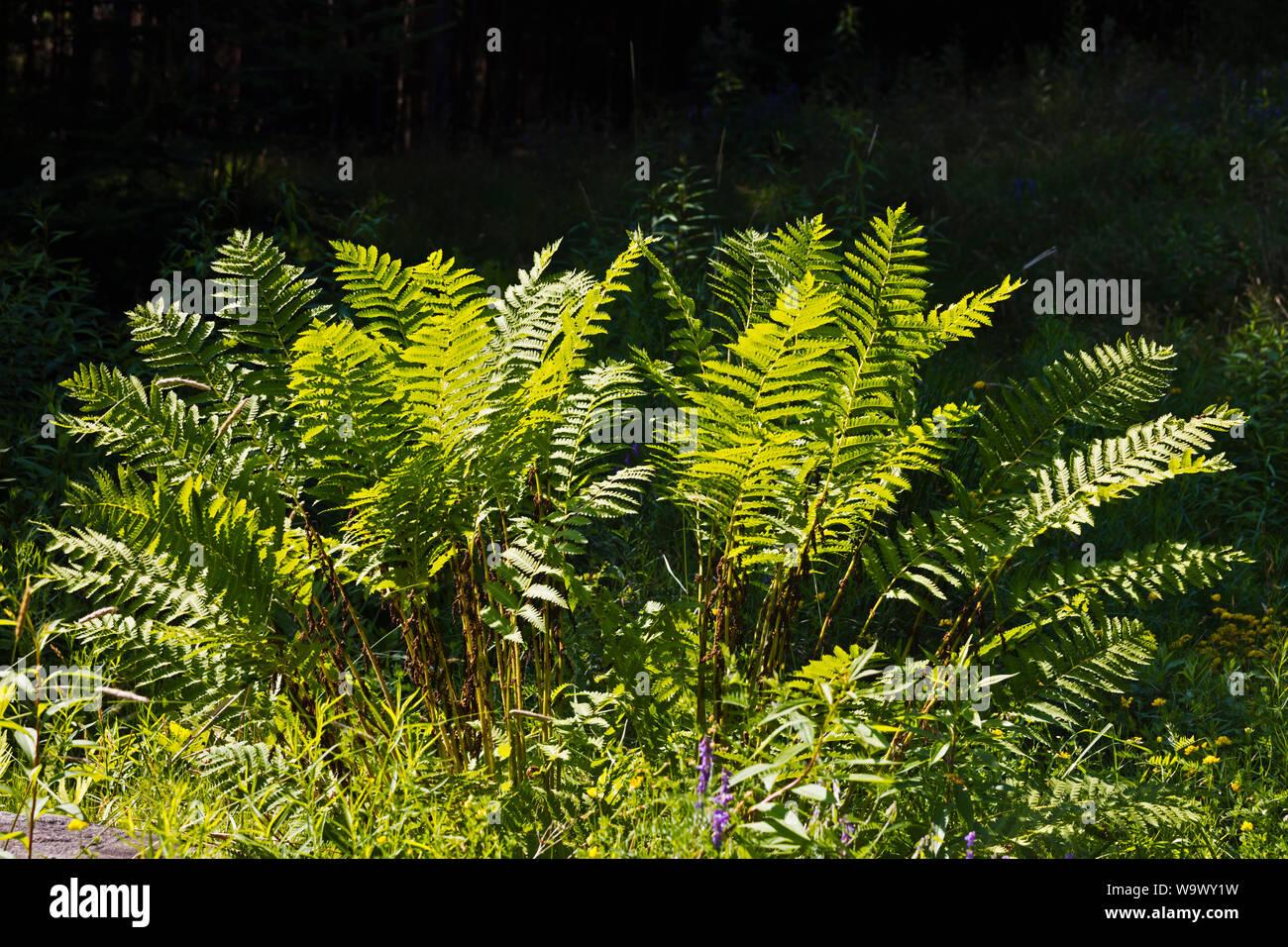 Los helechos crecen en el sotobosque del bosque de Desert Island - Parque Nacional de Acadia, Maine Foto de stock