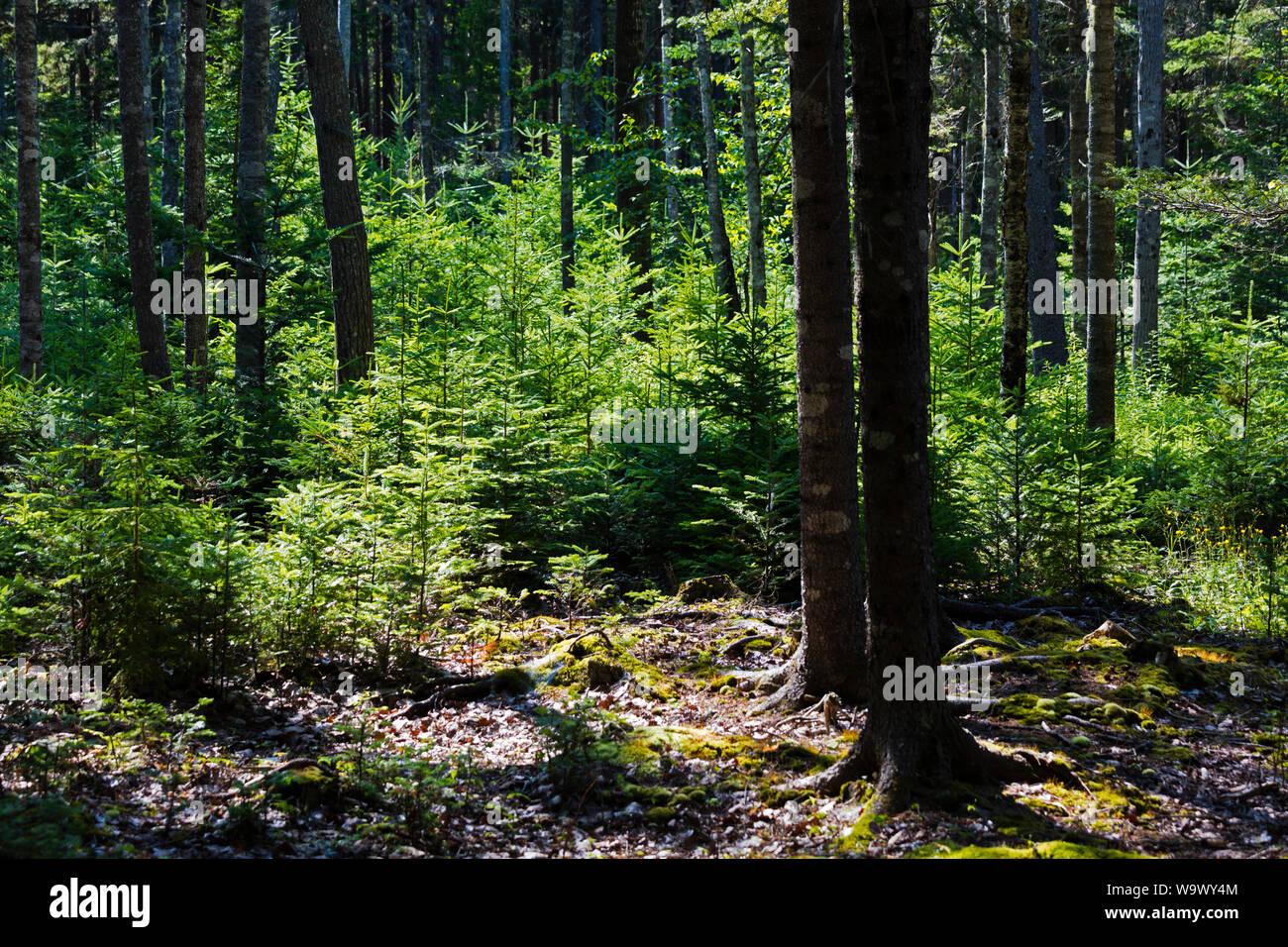 Las coníferas crecen en el bosque en la isla desierta - Parque Nacional de Acadia, Maine Foto de stock