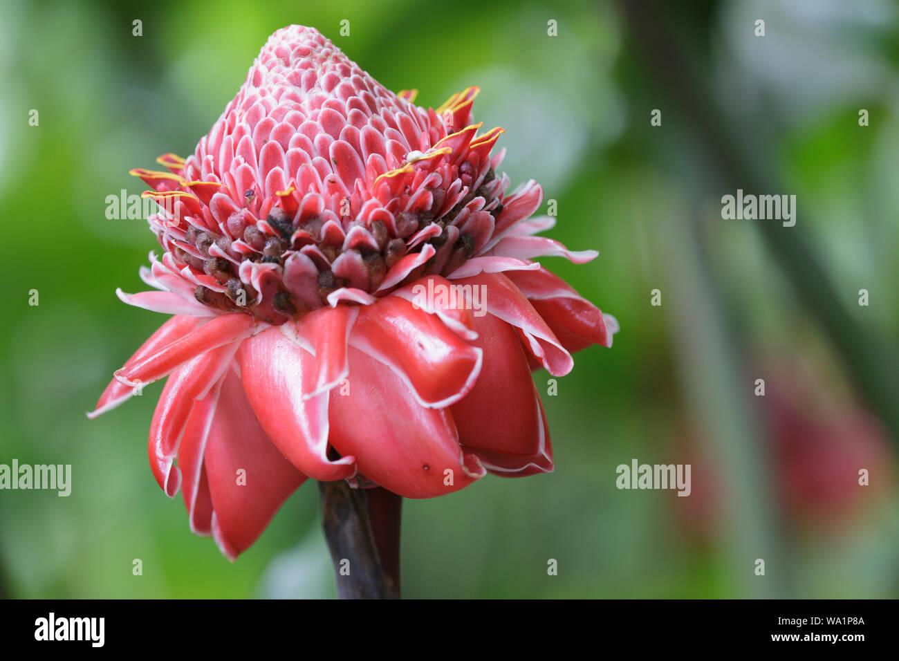 Flor de cera de Etlingera elatior o filipina. Es una especie de planta herbácea perenne. Foto de stock
