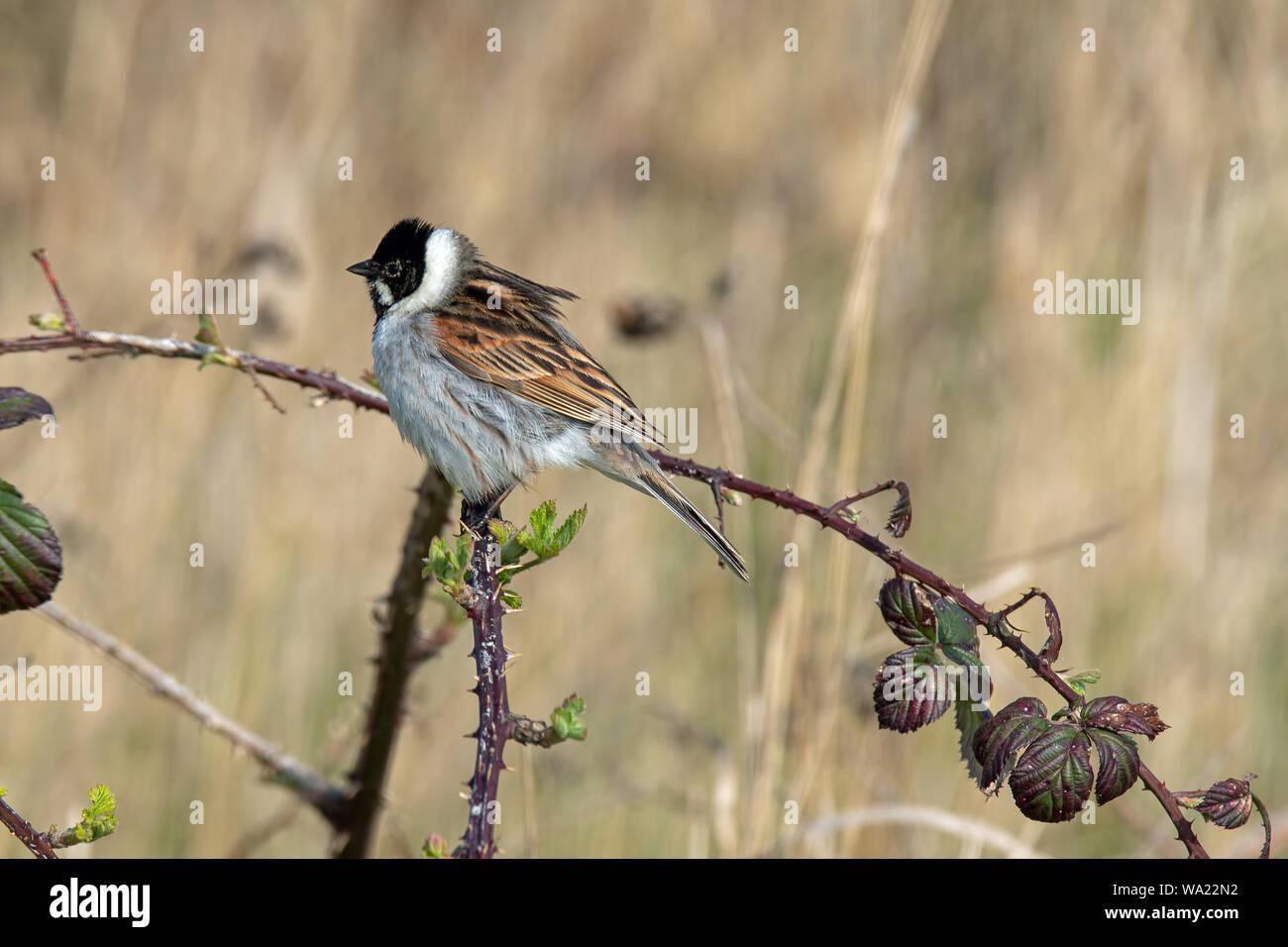 Macho Reed Bunting, encaramado en una rama espinosa con espacio para copiar Foto de stock