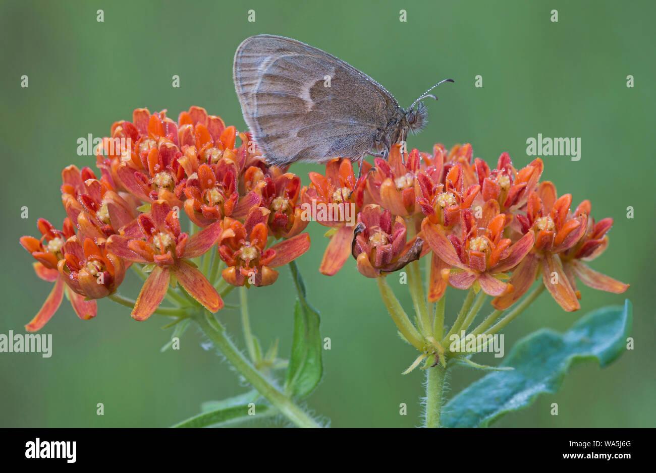 Ringlet butterfly (Coenonympha tullia) alimentándose de mariposas (Asclepias Asclepias tuberosus), el Este de los Estados Unidos, por omitir Moody/Dembinsky Foto Assoc Foto de stock