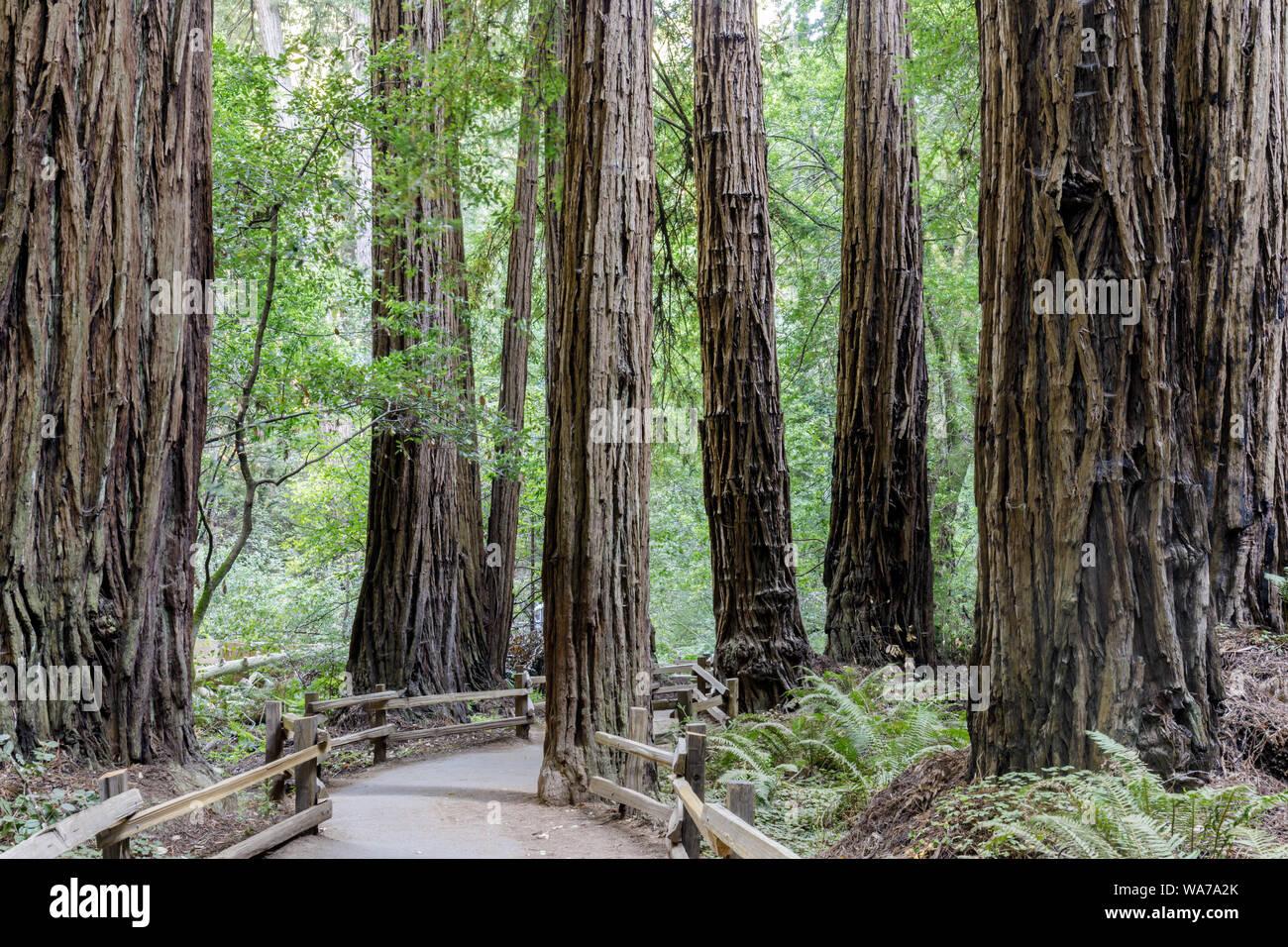 Viejo crecimiento Coast Redwood árboles alrededor de sendero asfaltado Foto de stock