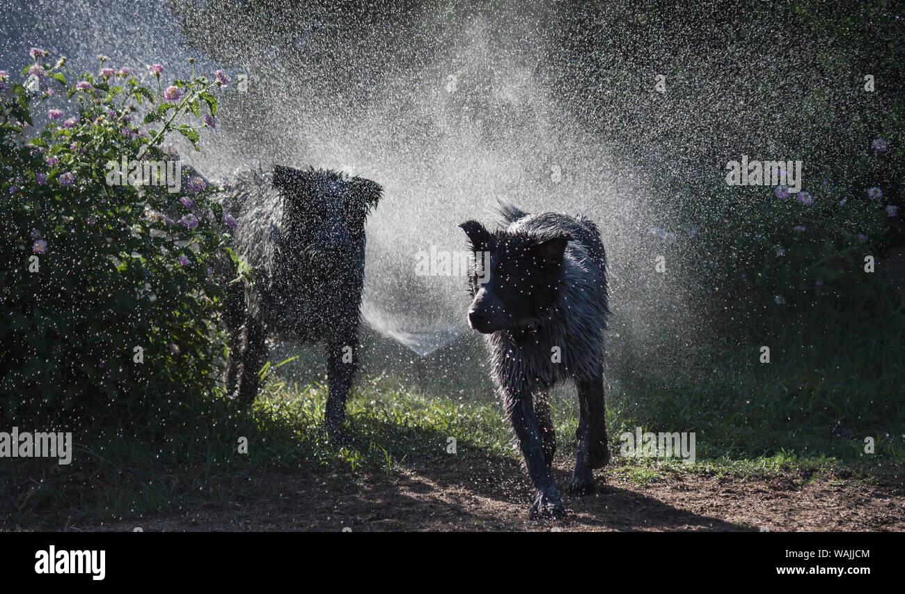 Los perros pastores jugando en el agua. Foto de stock