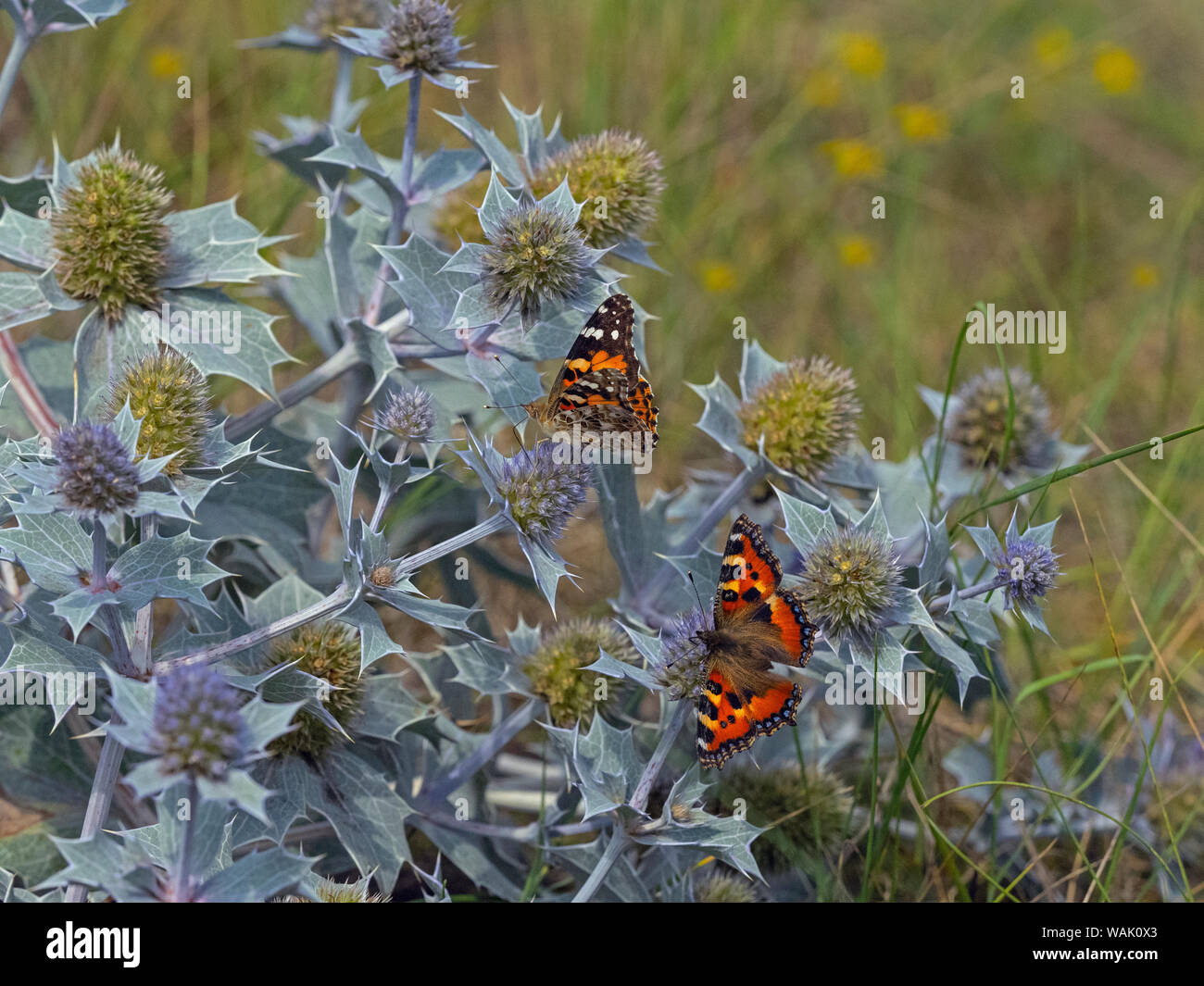 Mar holly Eryngium maritimum y Painted Lady y pequeñas dunas Thornham Tortoiseshell mariposas Norfolk Agosto Foto de stock