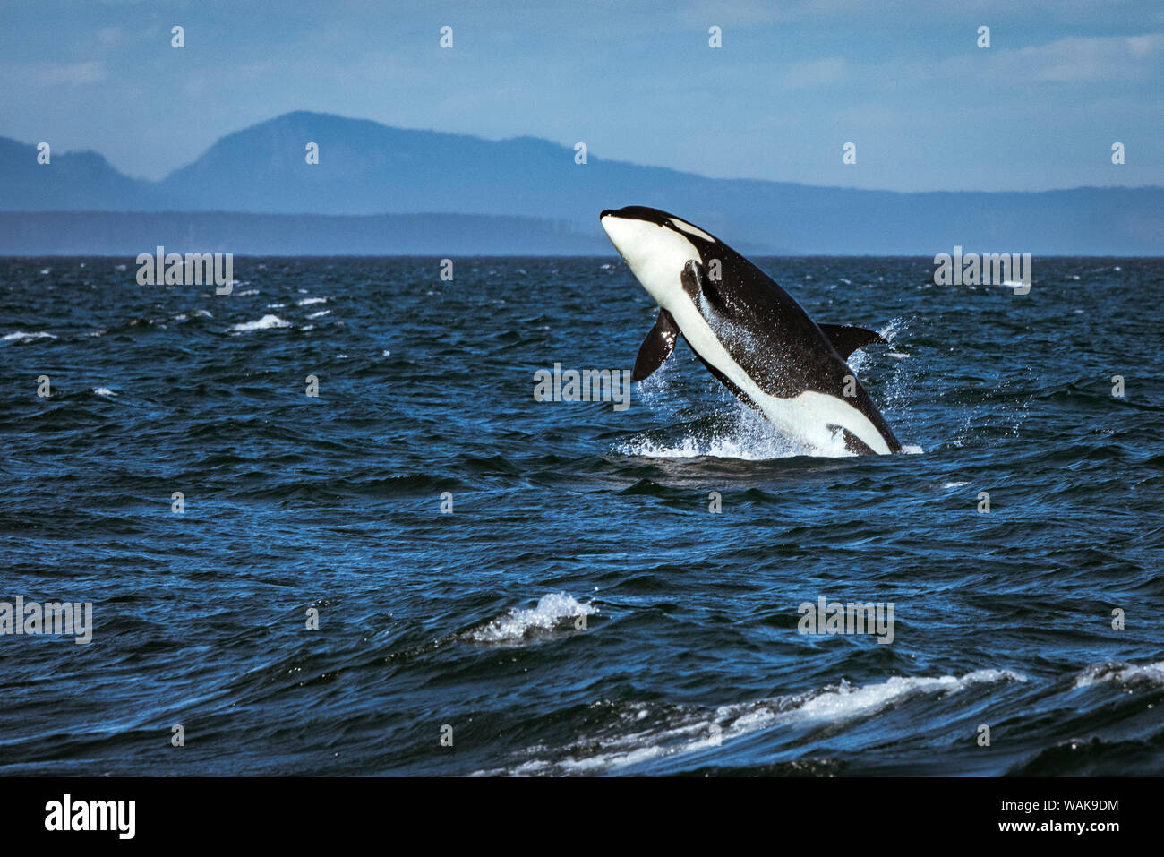 Estrecho de Juan de Fuca, residente meridional Killer whale violar. Foto de stock