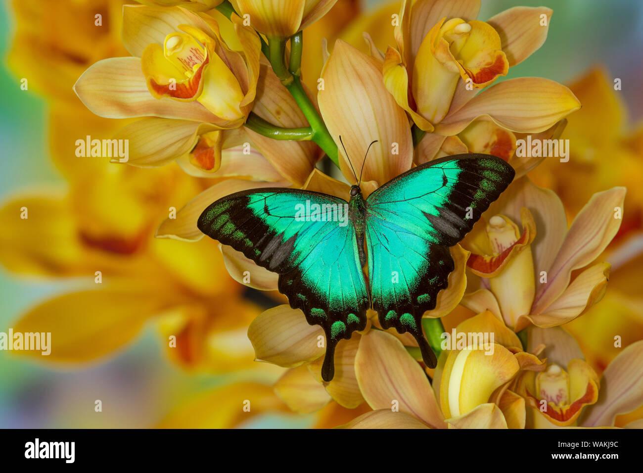 Especie asiática, Papilio larquinianus, mariposas en gran cymbidium Orquídea Dorada Foto de stock