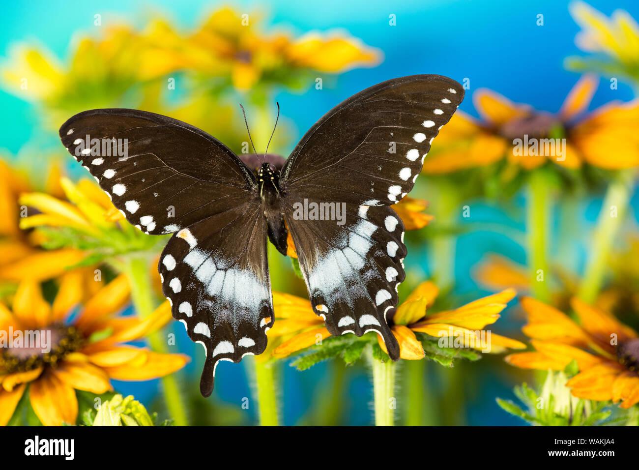 Pineville, especie de mariposa, Papilio Troilo, en hirta margaritas Foto de stock