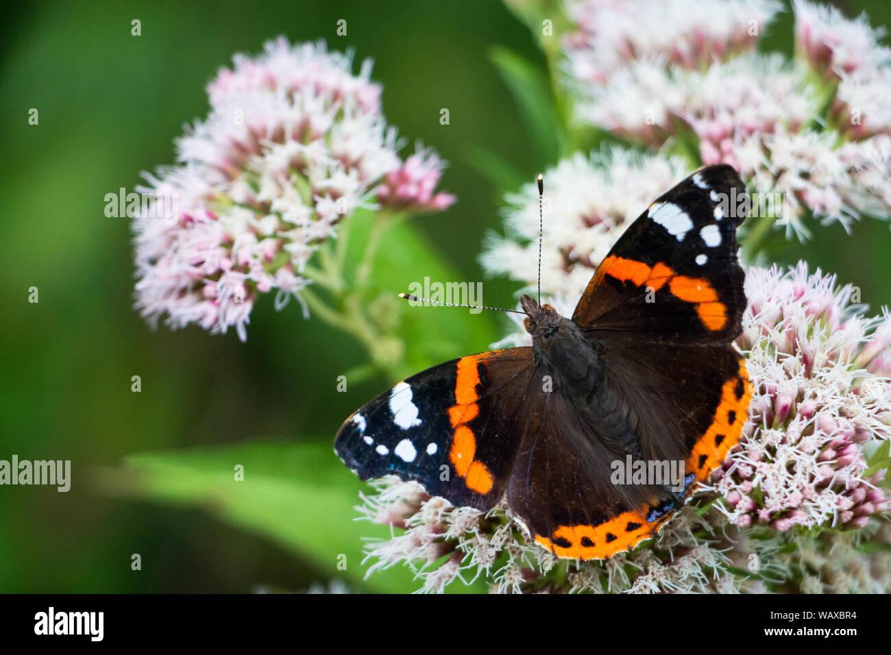 La vanesa o Atalanta butterfly sentada sobre una flor bebiendo néctar, fotografía tomada en los Países Bajos Foto de stock