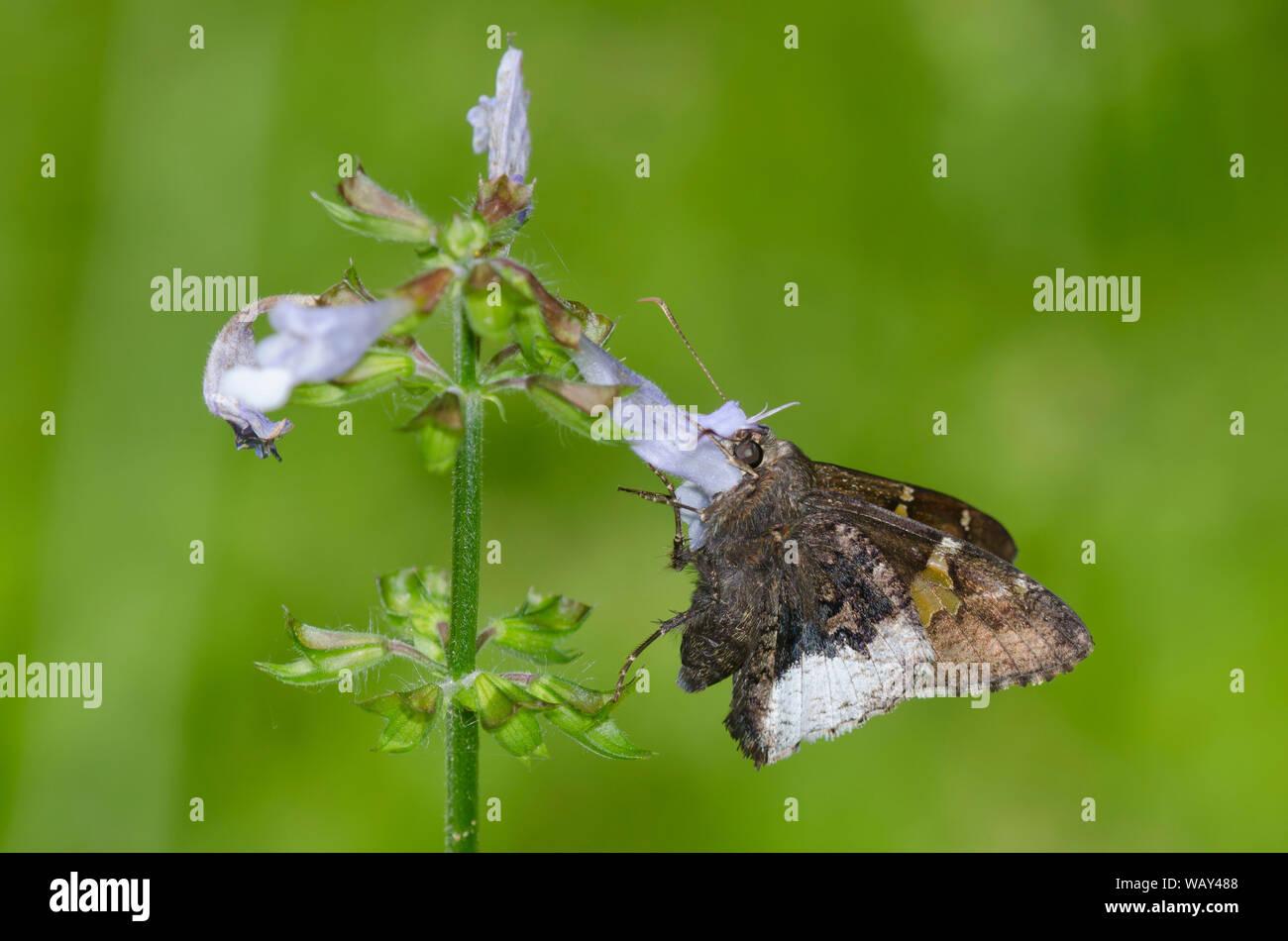 Borde canosos, Achalarus lyciades, Sage, Salvia lyrata Lyreleaf Foto de stock
