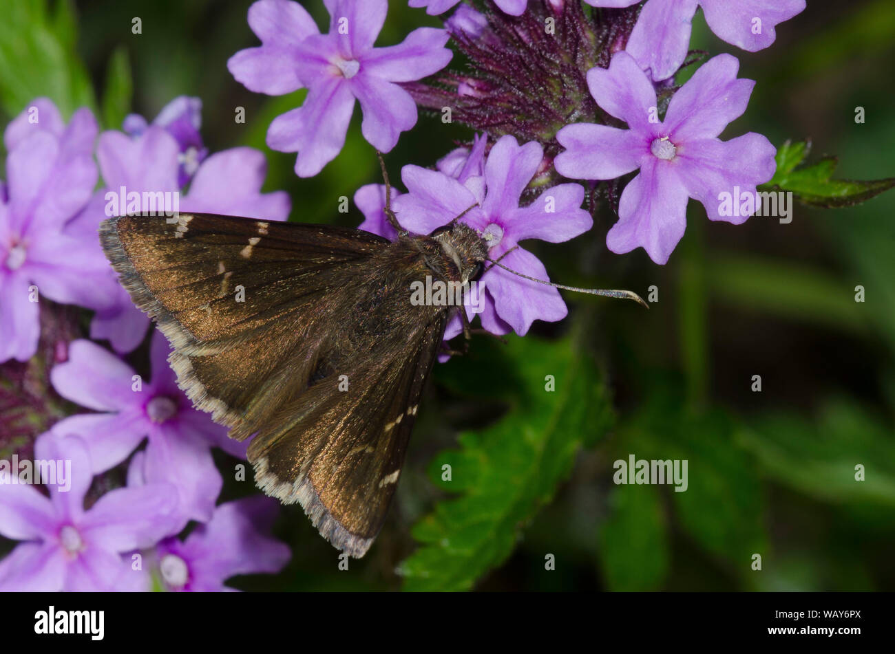 Southern Cloudywing, Thorybes bhyllus, nectaring de Vervain, Glatularia sp. Foto de stock